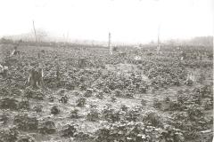 Schoff Farm Bean Field