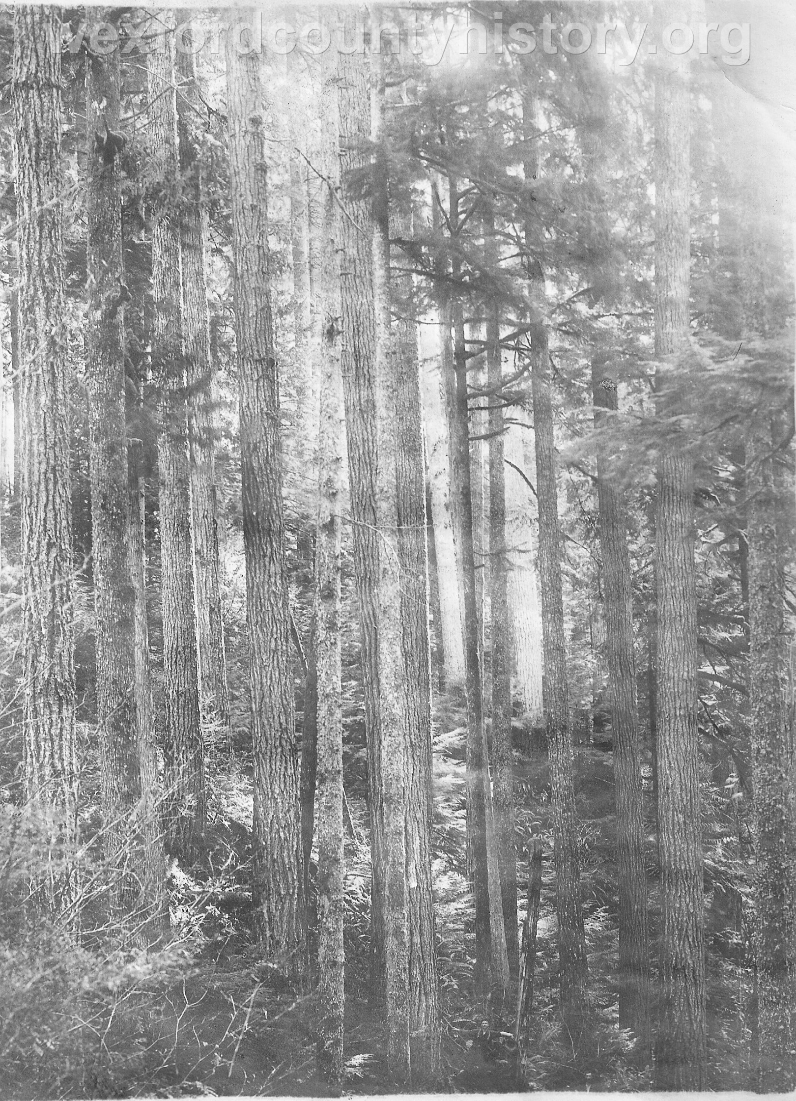 Wexford-County-Lumber-Timber-Harvest-Circa-1890s-1