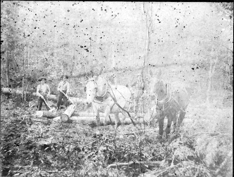 Horses Used in Timber Harvesting
