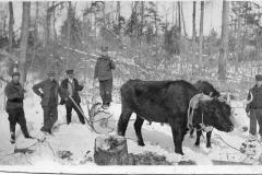 Bulls Pulling Logs