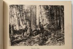 Cadillac-Lumber-Cummer-Workers-Felling-A-Tree-circa-1891