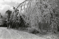 1922 Ice Storm - Trees Weighed Down By Ice